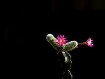 Fleurs roses de cactus Image libre de droits