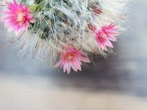 Fleurs roses de cactus qui ont les cheveux blancs comme les cheveux du chat Photographie stock libre de droits