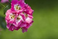 Fleurs roses de canina de Rosa de crabot Images stock