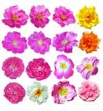 Fleurs roses de canina de Rosa de crabot Images libres de droits