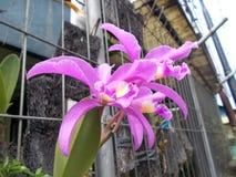 Fleurs roses de cattleya d'orchidée Photos libres de droits
