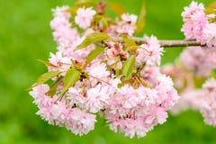 Fleurs roses de cerise Image stock