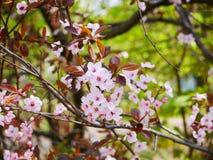 Fleurs roses de cerise sur une branche au printemps en parc de ville images libres de droits