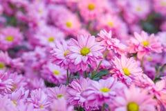 Fleurs roses de chrysanthème dans le jardin Photographie stock libre de droits