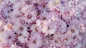 Fleurs roses de chrysanthemum image stock