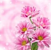 Fleurs roses de chrysanthemum Image libre de droits