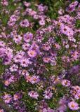 Fleurs roses de chute d'asters Photos stock