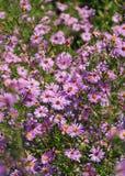 Fleurs roses de chute d'asters Images stock