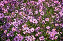 Fleurs roses de chute d'asters Photo libre de droits