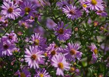 Fleurs roses de chute d'asters avec des abeilles Photos stock