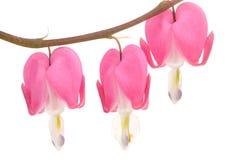 Fleurs roses de coeur de purge Images stock