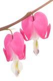 Fleurs roses de coeur de purge Image stock
