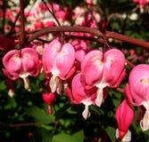 Fleurs roses de coeur de purge Photo stock