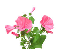 Fleurs roses de convolvule Images libres de droits
