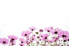 Fleurs roses de coreopsis Images libres de droits