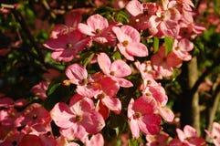 Fleurs roses de cornouiller Image stock
