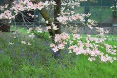 Fleurs roses de cornouiller au printemps photos libres de droits