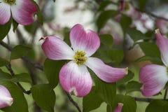 Fleurs roses de cornouiller - cornus la Floride Rubra Photographie stock