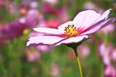 Fleurs roses de cosmos Photos libres de droits
