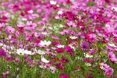 Fleurs roses de cosmos Image stock