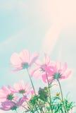 Fleurs roses de cosmos images stock