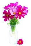 Fleurs roses de cosmos Image libre de droits