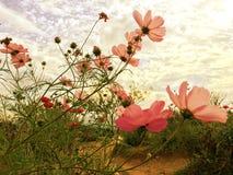 Fleurs roses de cosmos fleurissant dans le jardin avec la lumière du soleil douce du ciel images libres de droits