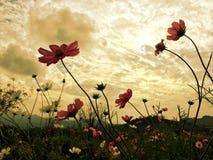Fleurs roses de cosmos fleurissant dans le jardin avec la lumière du soleil douce du ciel image libre de droits