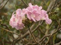 Fleurs roses de couleur d'arbre de trompette rose photo stock