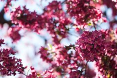 Fleurs roses de Crabapple de ressort contre le ciel bleu images libres de droits