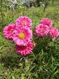 Fleurs roses de crysanthemum Photos libres de droits