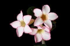 Fleurs roses de désert Images libres de droits