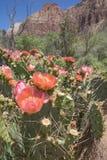 Fleurs roses de figue de Barbarie Images libres de droits
