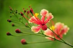 Fleurs roses de fleur Images libres de droits