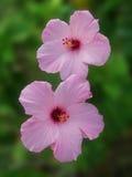 Fleurs roses de fleur de ketmie Photographie stock