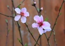 Fleurs roses de fleur de pêche sur Bush Photo libre de droits