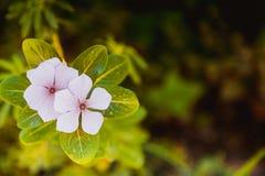Fleurs roses de floraison Photos libres de droits