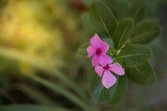 Fleurs roses de floraison Photographie stock