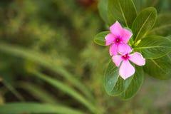 Fleurs roses de floraison Photo stock