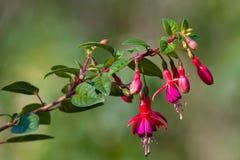 Fleurs roses de floraison images stock