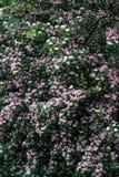 Fleurs roses de floraison image libre de droits