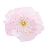 Fleurs roses de floraison d'arbre Photo libre de droits