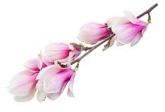 Fleurs roses de floraison d'arbre de magnolia Image libre de droits