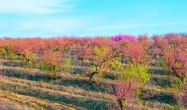 Fleurs roses de floraison de pêches Images libres de droits