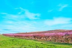 Fleurs roses de floraison de pêches Images stock