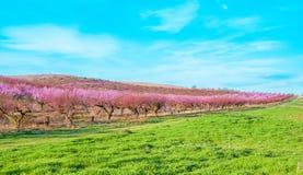 Fleurs roses de floraison de pêches Photo libre de droits