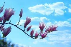 Fleurs roses de floraison de magnolia Beau fond de nature images stock