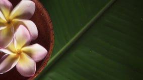 Fleurs roses de frangipani également connues sous le nom de plumeria ou lilawadee tournant dans le bol de noix de coco avec de l' banque de vidéos