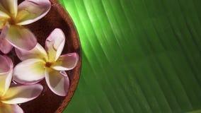 Fleurs roses de frangipani également connues sous le nom de plumeria ou lilawadee tournant dans le bol de noix de coco avec de l' clips vidéos