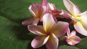 Fleurs roses de frangipani également connues sous le nom de plumeria ou lilawadee tournant sur la feuille de banane clips vidéos
